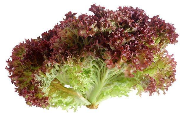 lollo rosso lettuce agromontes 1