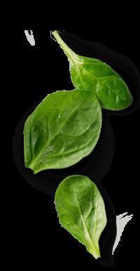 espinacas-spinach-Agromonts-Murcia-espana
